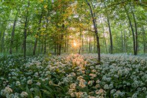 Una foresta di aglio selvatico